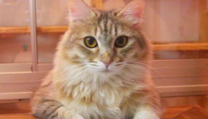 L'expérience Cat Café japonaise pour se préparer à l'ouverture du Café des Chats!