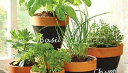 Basilic: recettes, pousse et compagnie