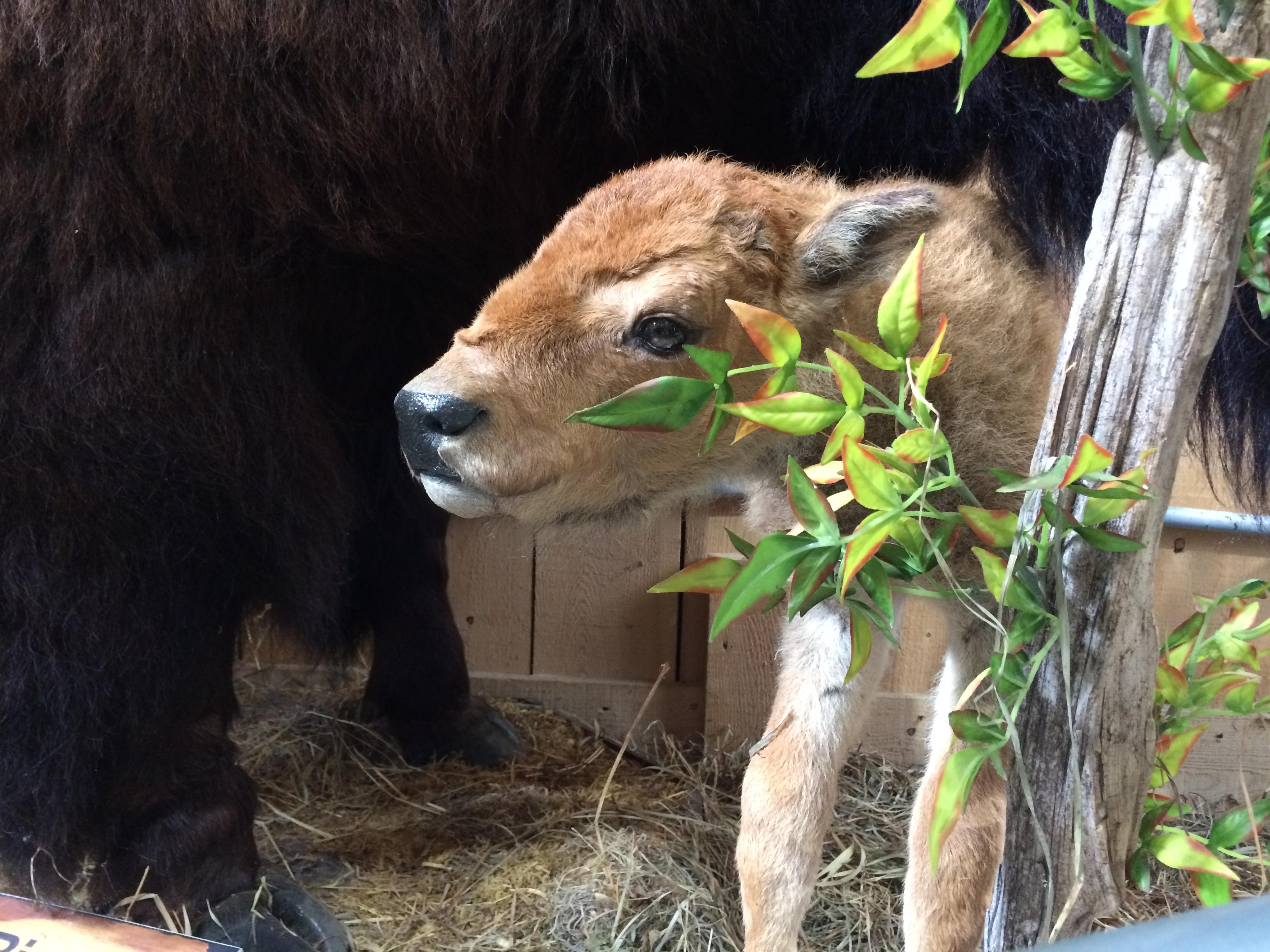 bisons, bébé, terre des bisons