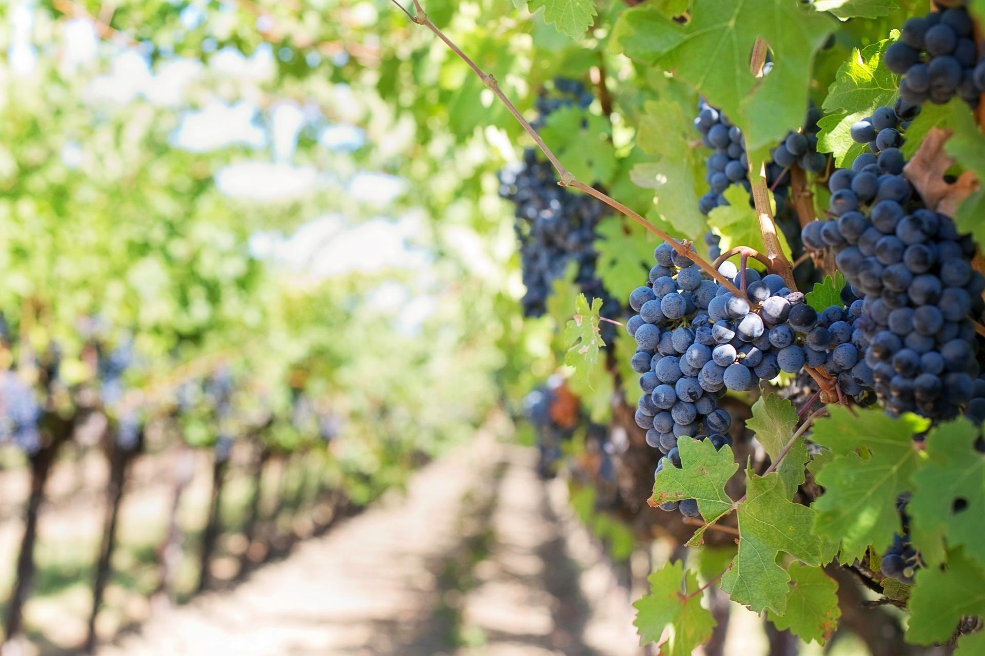 chili, amérique latine, amérique du sud, vignobles, vins, pisco sour