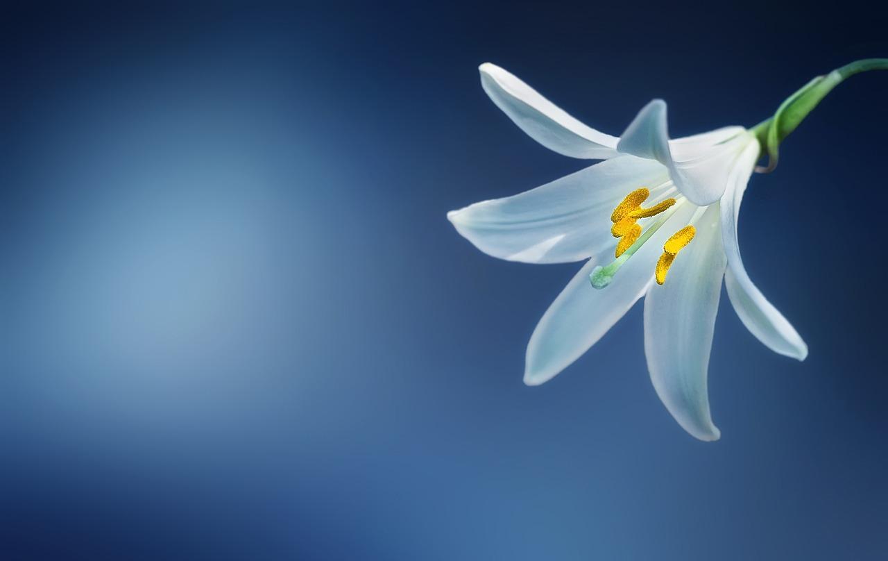 fleur lys blanche