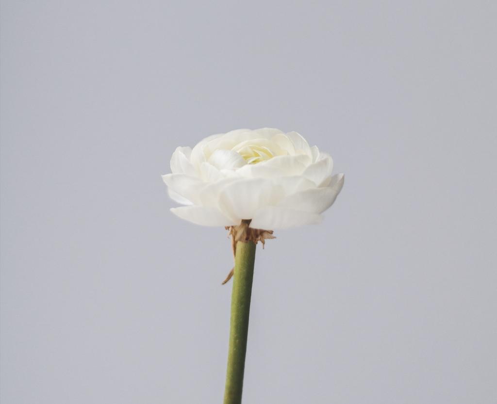 fleur blanche recadrée