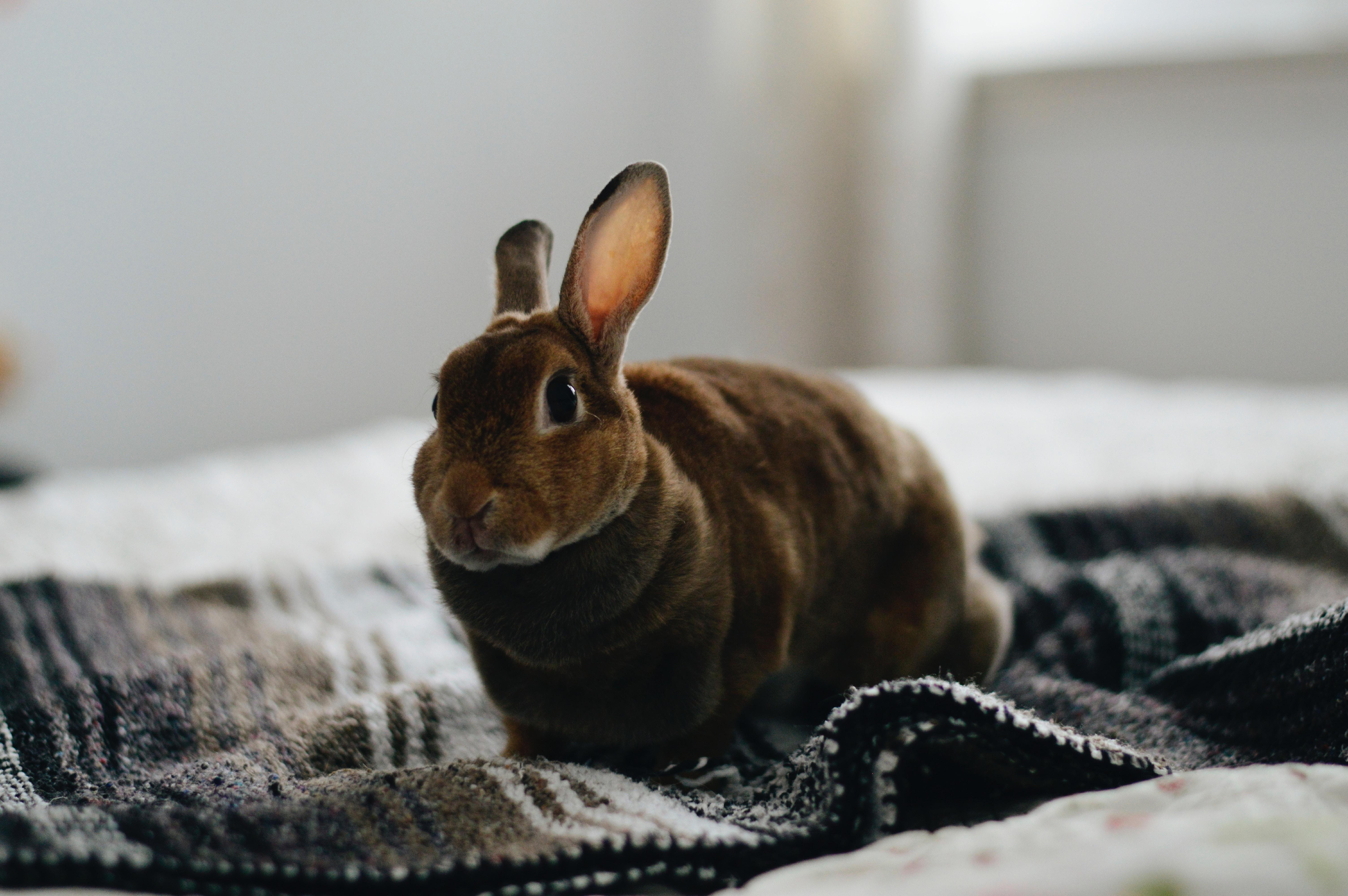 lapin sur un lit
