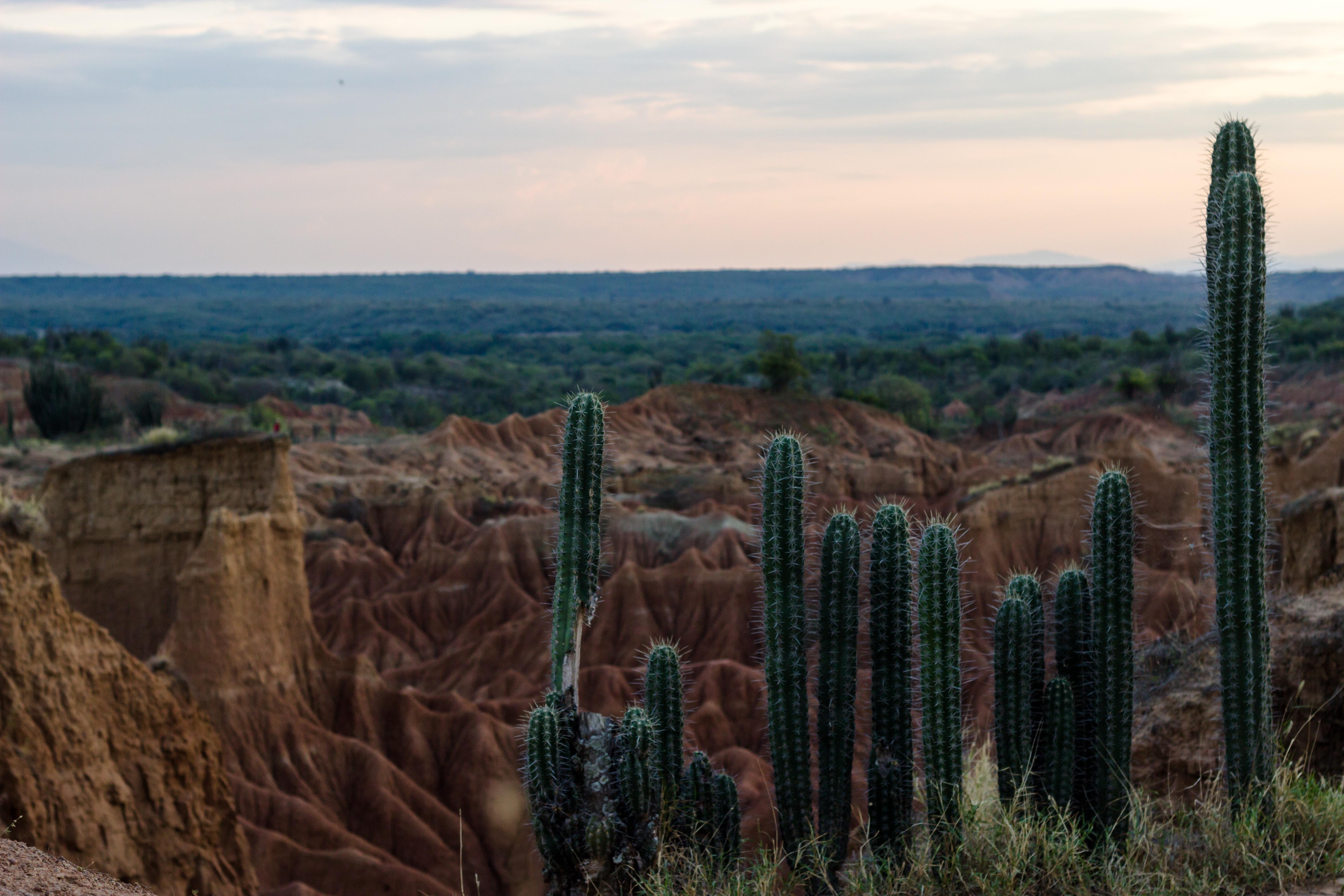 cactus dans le désert de Tatacoa