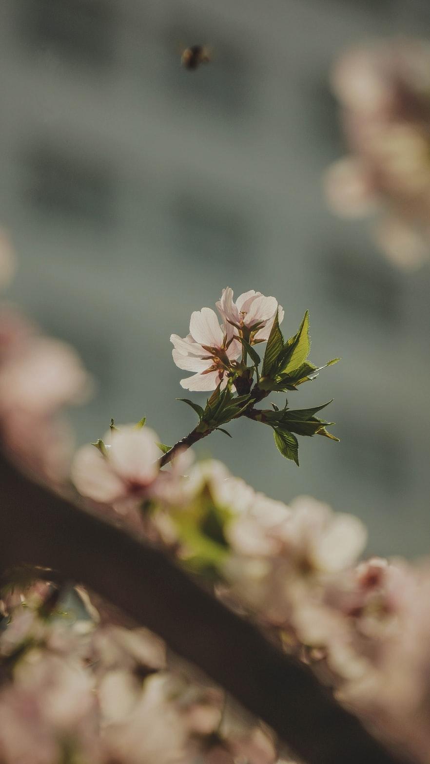fleur rose cherry blossom