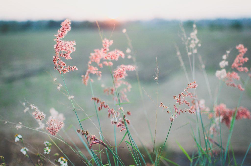 fleurs champs