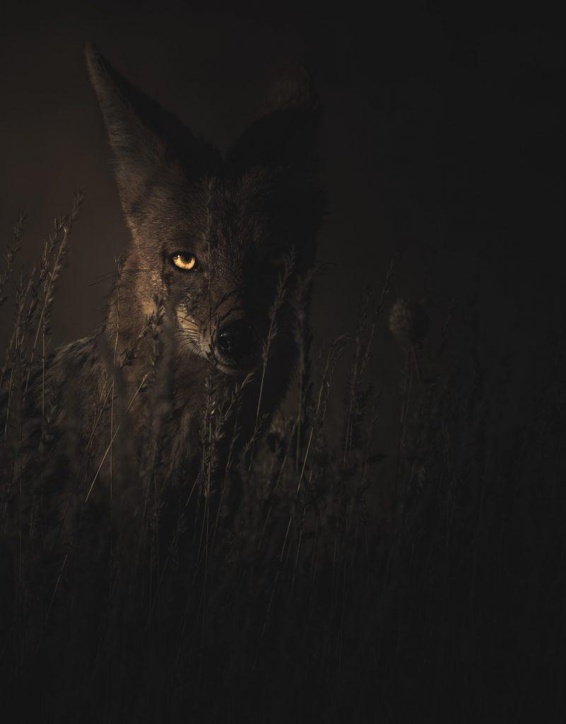 yeux de la bête tapie dans le noir