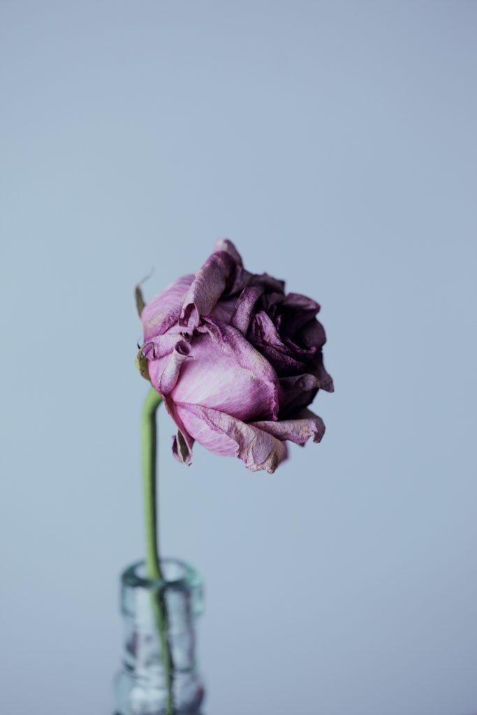 rose dans un pot sur fond blanc