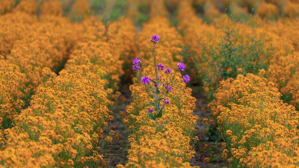 fleur mauve parmi fleurs jaunes