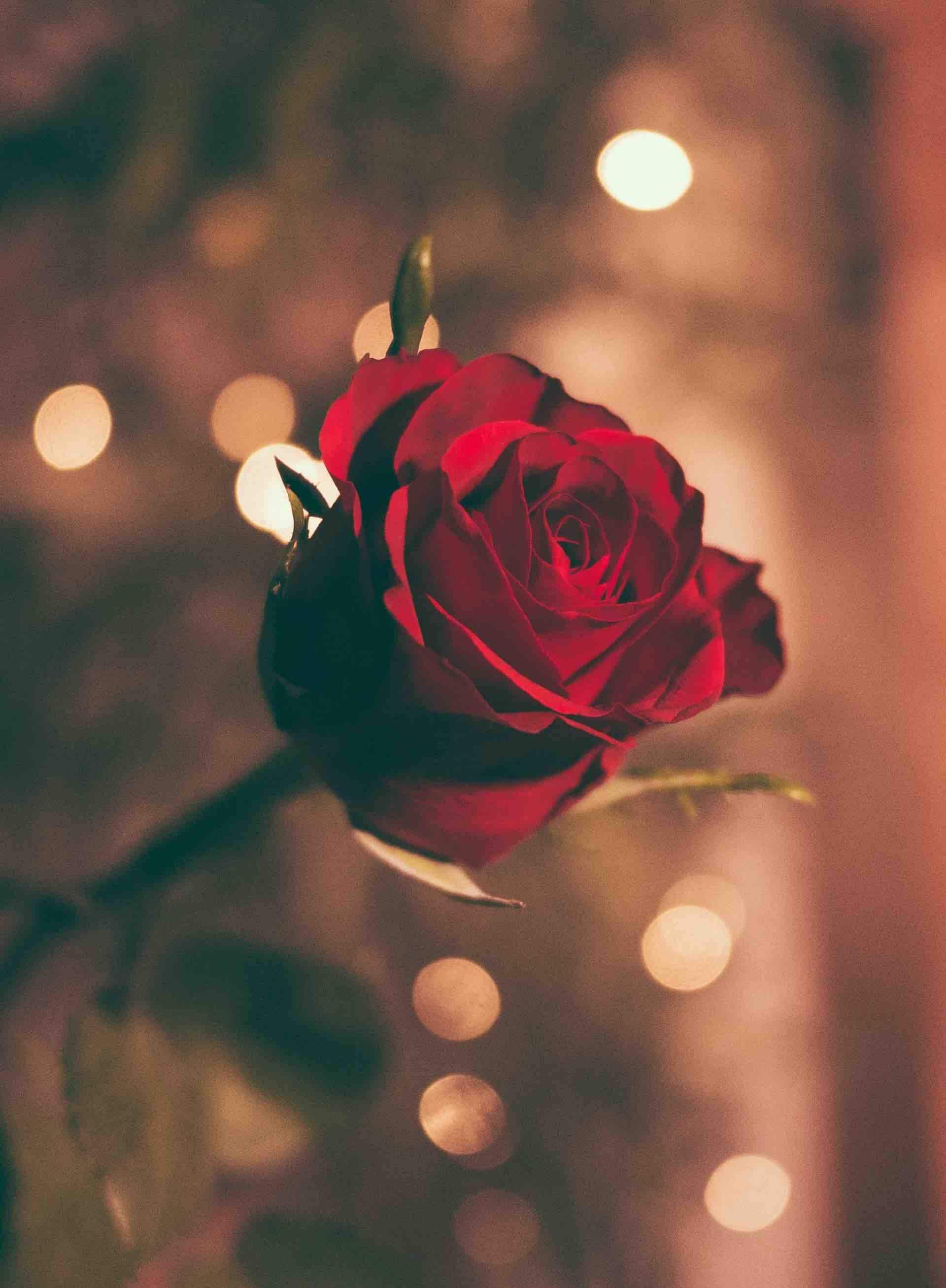 rose amour romantique flou