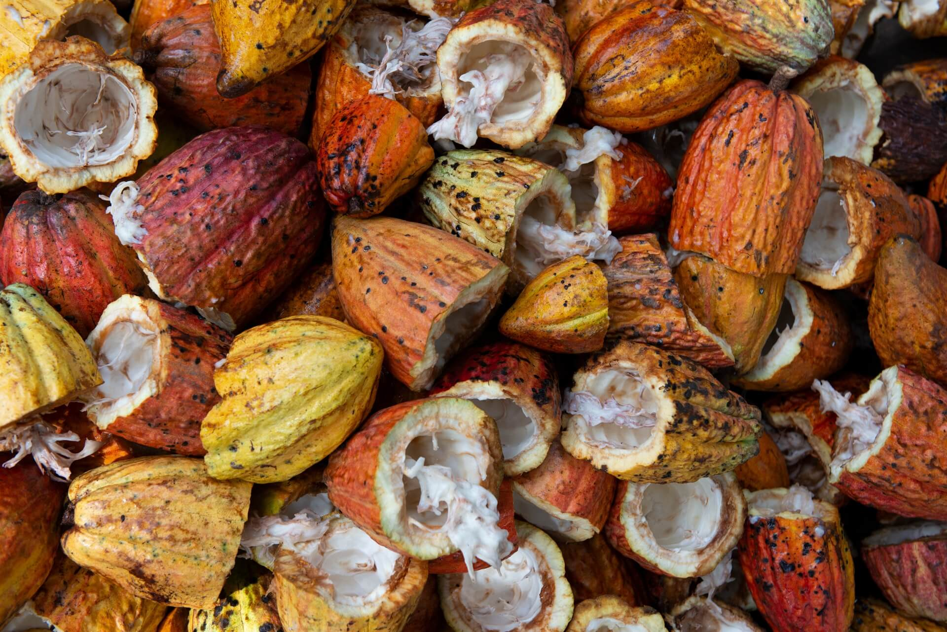 cacao fruit ouvert
