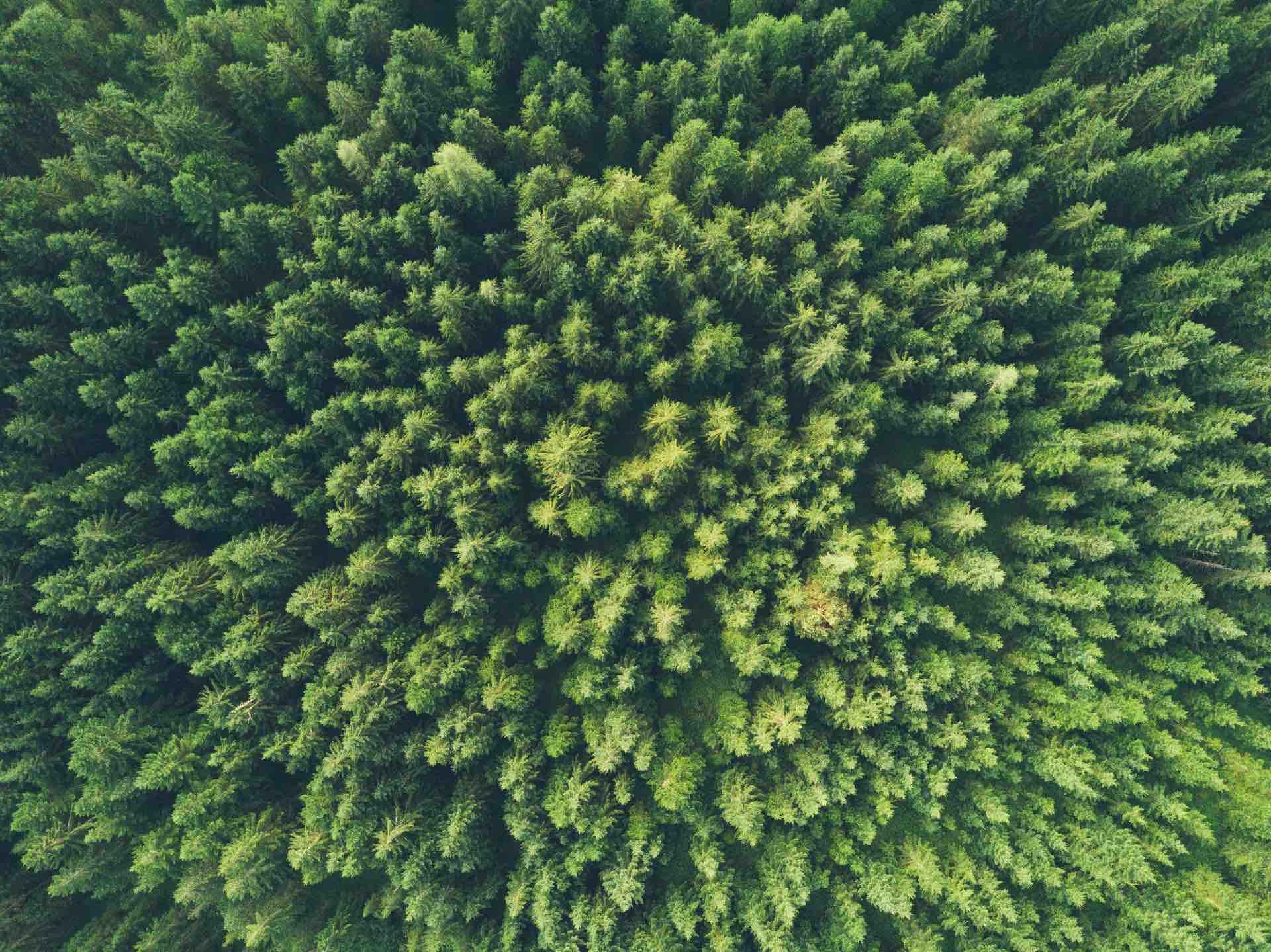 foret sapins nature environnement