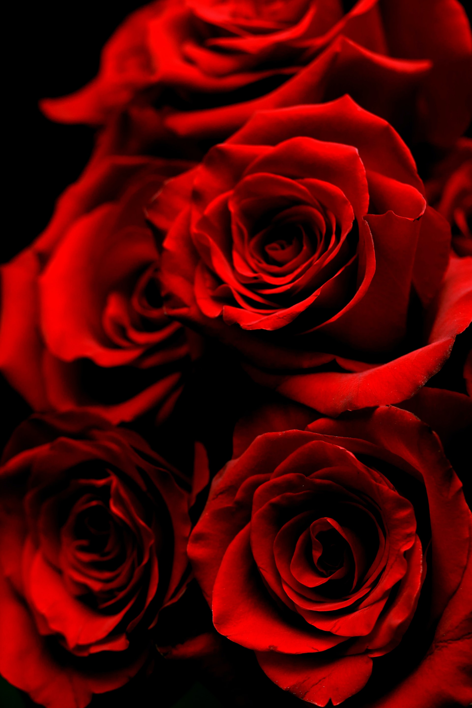 rose rouge noir