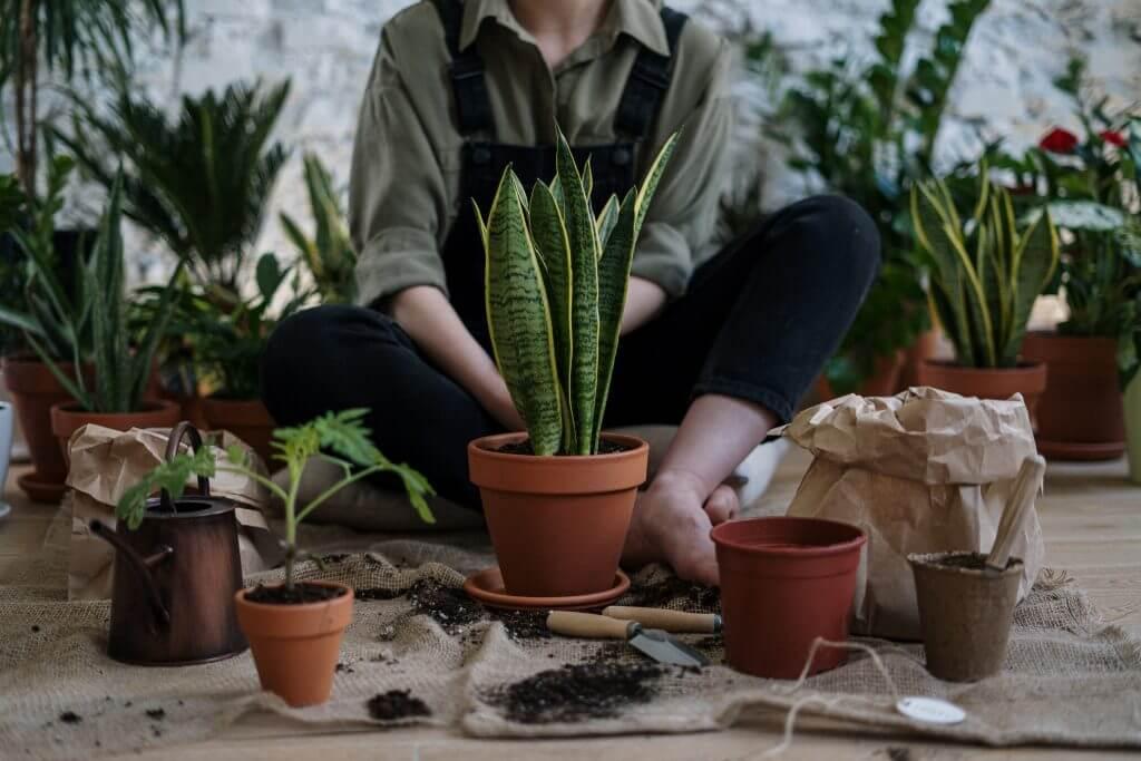 Rempotage de plantes